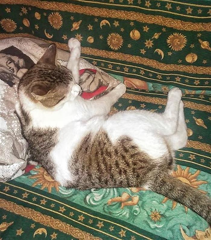 Gatto Maschio Su Lapulceit Gratis