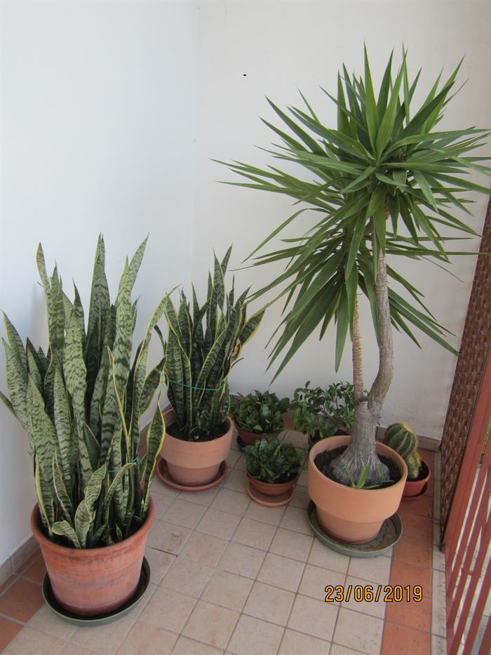 Piante Da Appartamento Lingua Di Suocera.Piante Da Appartamento Su Lapulce It Occasioni Varie