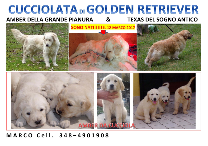 Cuccioli Di Golden Retriever Su Lapulceit Animali