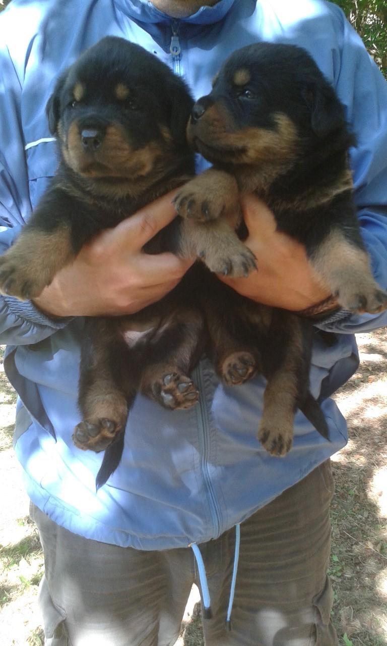 Cuccioli Di Rottweiler Su Lapulceit Animali