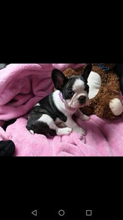 Bulldog Francese Su Lapulceit Animali