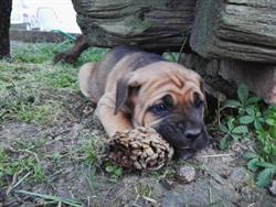 Cuccioli Cane Corso Su Lapulceit Animali